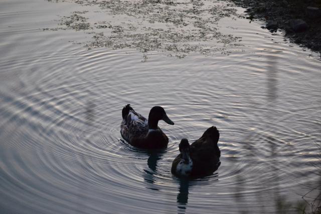 94367_turkeys_and_ducks_022.jpg