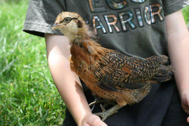 http://www.backyardchickens.com/forum/uploads/94381_ellie.jpg