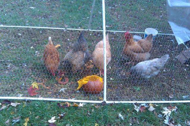 http://www.backyardchickens.com/forum/uploads/95033_imag0765.jpg