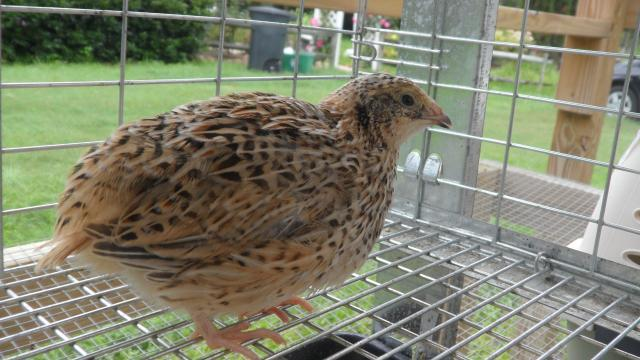 quail backyard chickens community