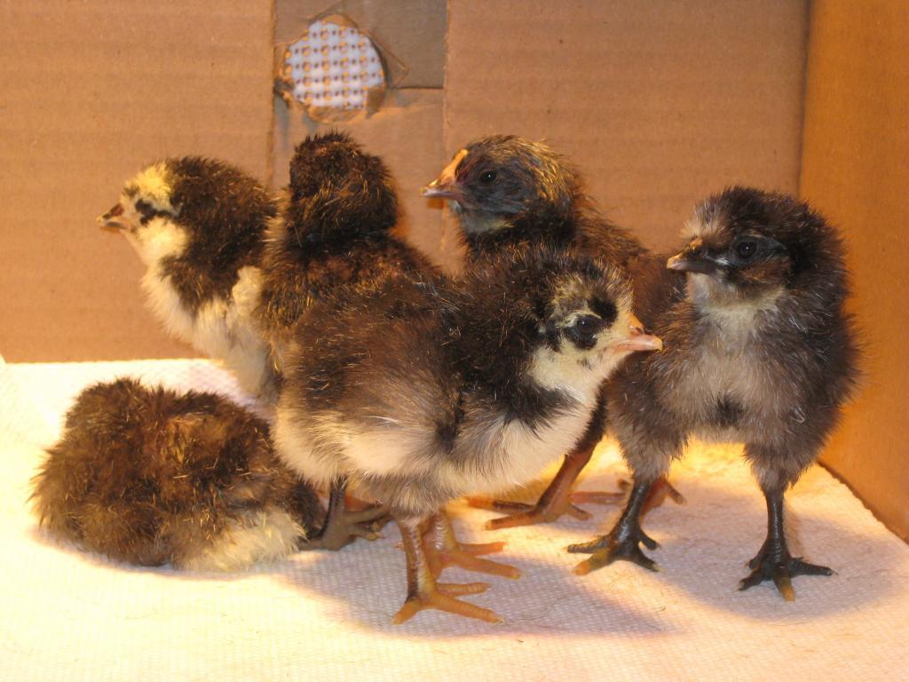 http://www.backyardchickens.com/forum/uploads/95904_024.jpg