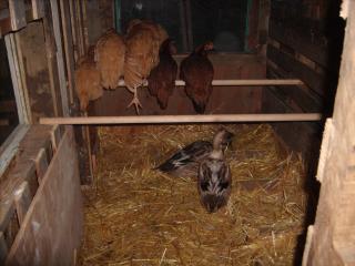 http://www.backyardchickens.com/forum/uploads/95961_gedc0620.jpg