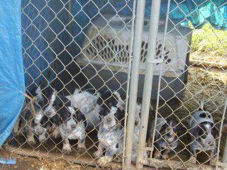 http://www.backyardchickens.com/forum/uploads/9616_kayes_007.jpg