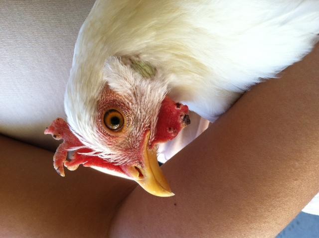 http://www.backyardchickens.com/forum/uploads/96560_marie3.jpg