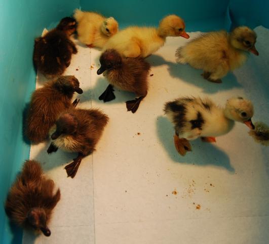 http://www.backyardchickens.com/forum/uploads/96857_dsc_0005a.jpg