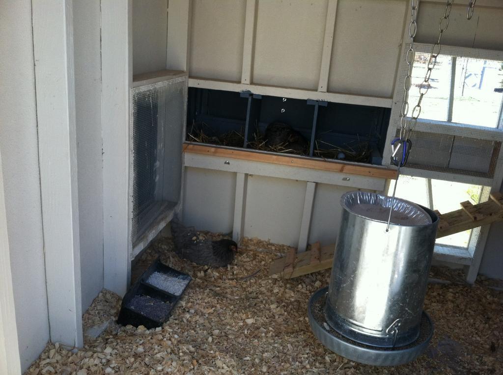 http://www.backyardchickens.com/forum/uploads/97463_smokey_in_the_nest_box_036.jpg
