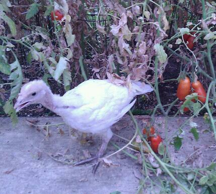 http://www.backyardchickens.com/forum/uploads/98041_264945_2169275400933_1518177212_2378556_7069992_n.jpg