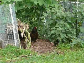 http://www.backyardchickens.com/forum/uploads/98442_p1080514.jpg