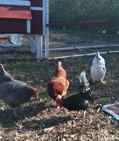 http://www.backyardchickens.com/forum/uploads/98552_chick2.jpg