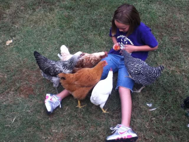 99283_tomato_chickens.jpg