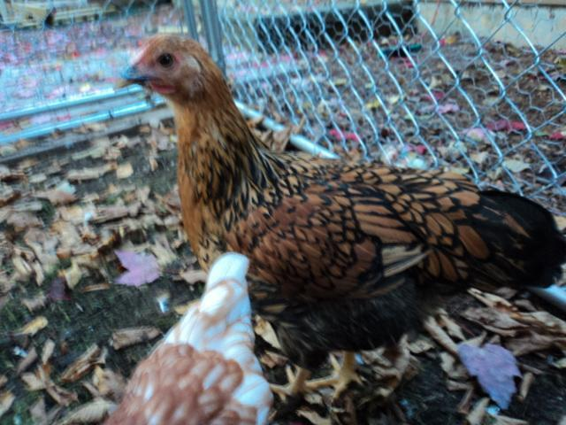 http://www.backyardchickens.com/forum/uploads/99368_dsc01501.jpg