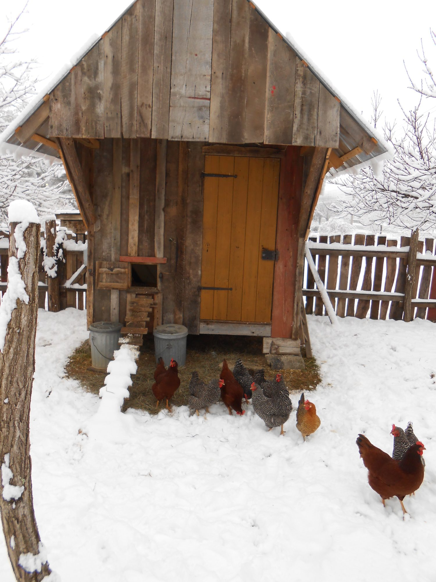 Old Fashioned Coop Backyard Chickens Community