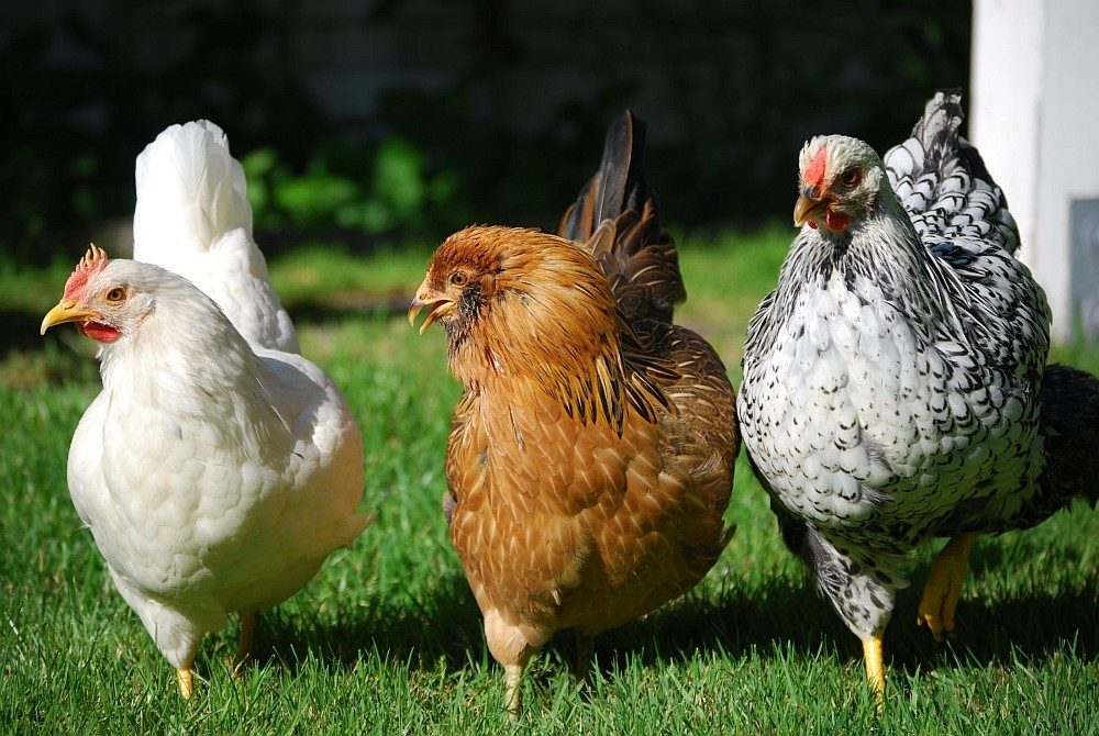 chickens in your backyard the many reasons benefits backyard