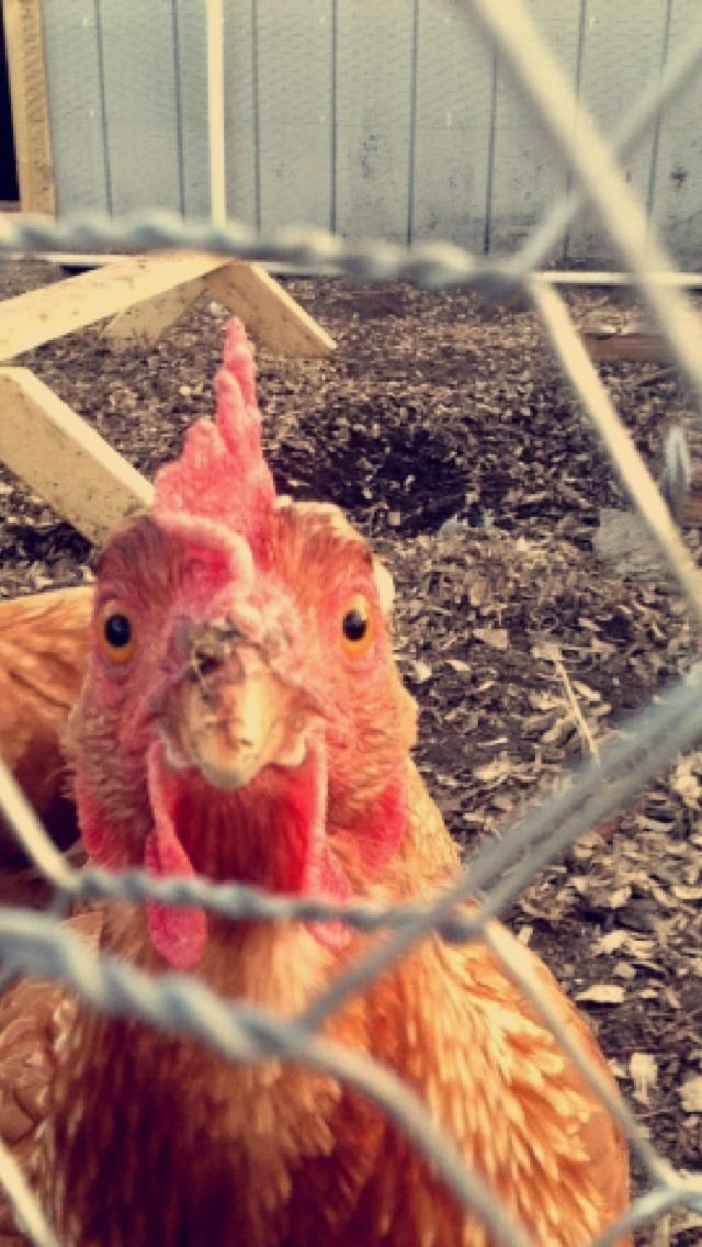 Coop built for ease of care... - BackYard Chickens Community