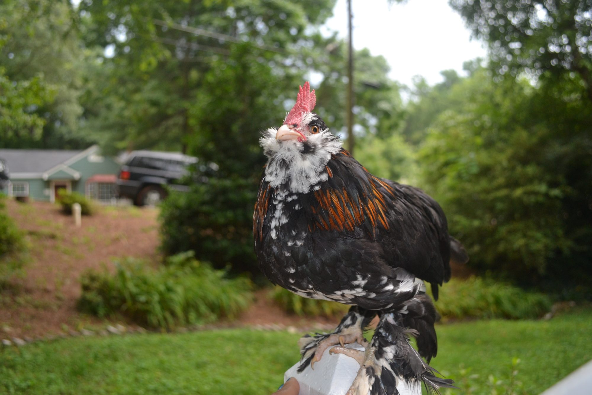 black mottled d 39 uccle cockerel needs a new loving home atlanta ga