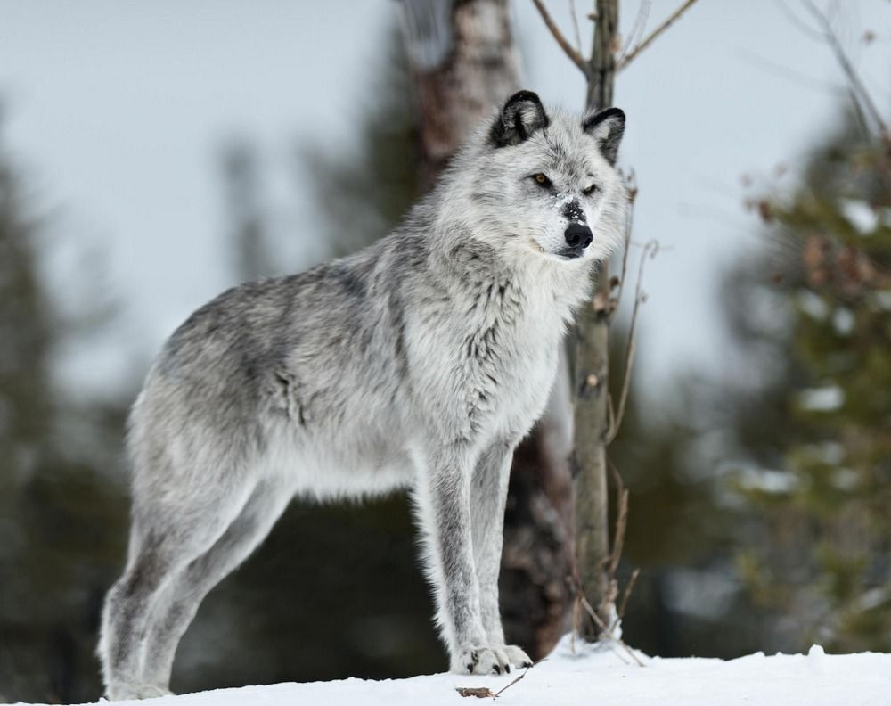 1000  images about Silverwolf on Pinterest