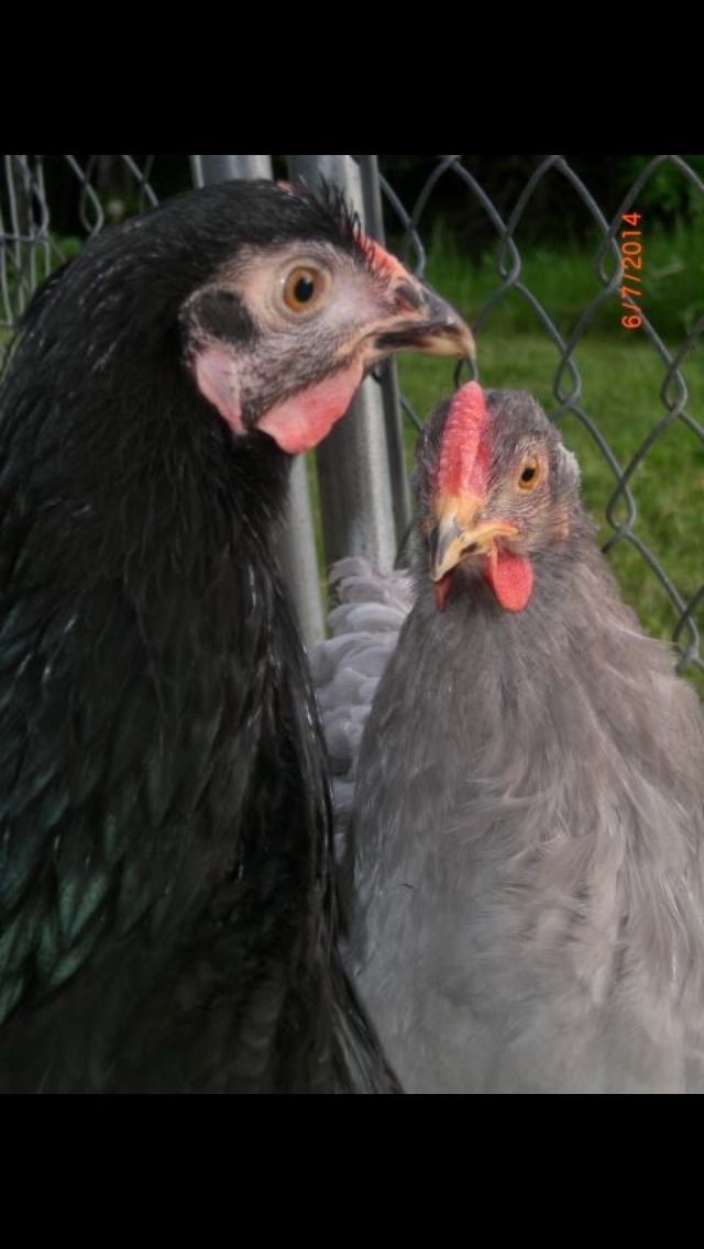 Ayam Cemani Hatching Eggs Trade For Your Rare Breed Or