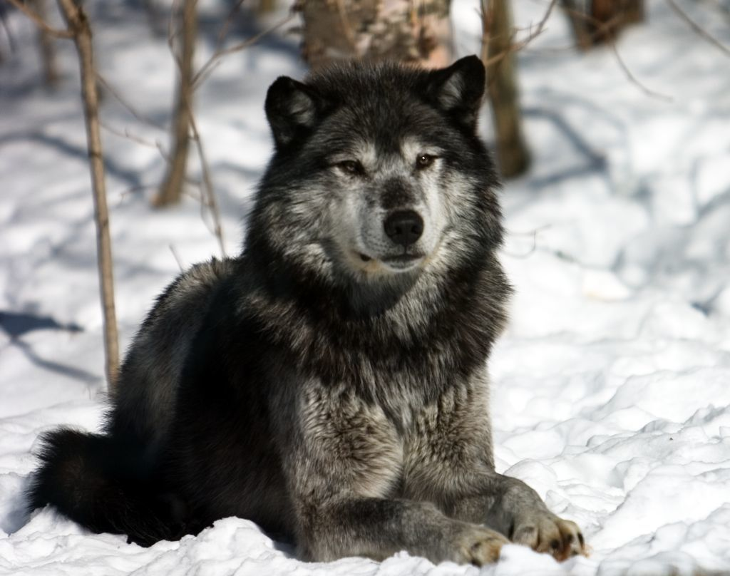 winter in siberia a wolf rp in need of players. Black Bedroom Furniture Sets. Home Design Ideas