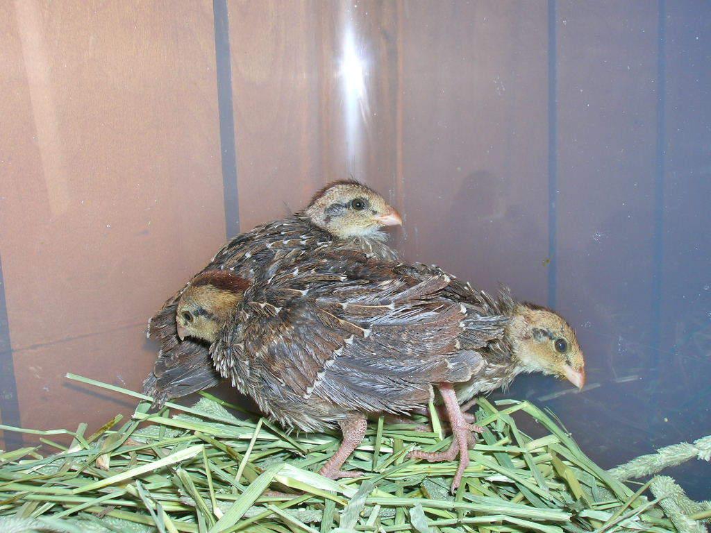 Hatching Quail Eggs and Brooding Quail Chicks - BackYard ... Quail Chicks