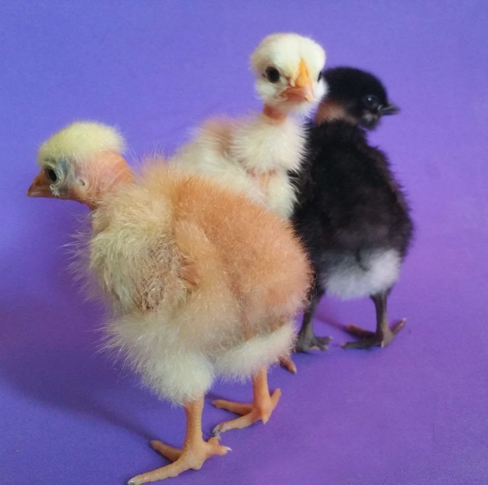 12 naked neck turken chicken hatching eggs mixed colors lf