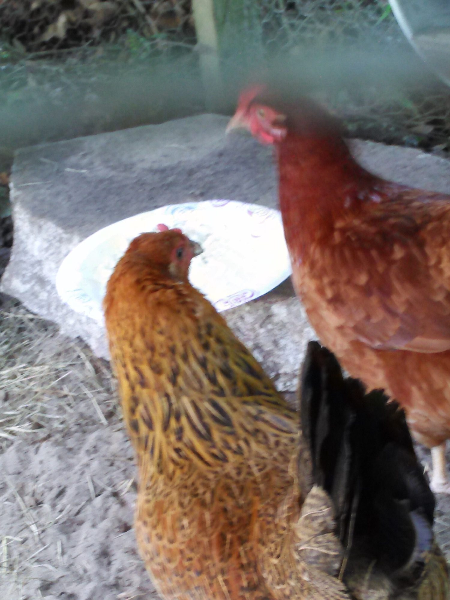 The Girls, Henny & Penny enjoying leftover mashed potatoes