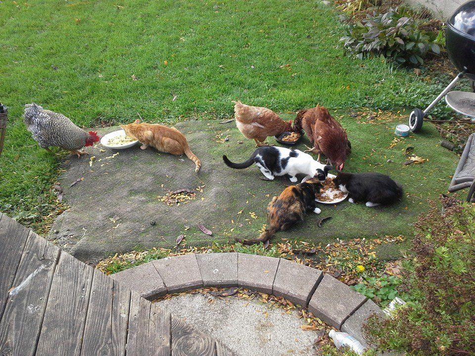 chickens and kittens.jpg