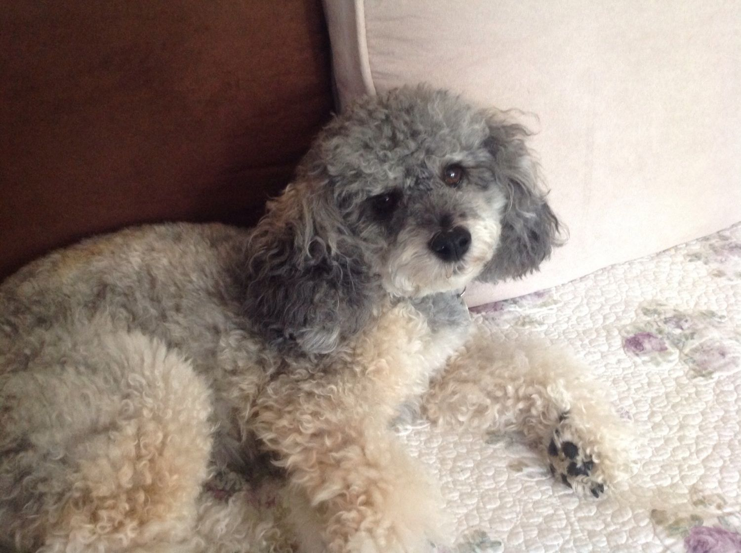 This is my 5 year old Poodle mix that I fostered for Bay area Poodle Rescue and I ended up adopting him.  My husband has nick named him Bubba, which fits his personality, LOL!