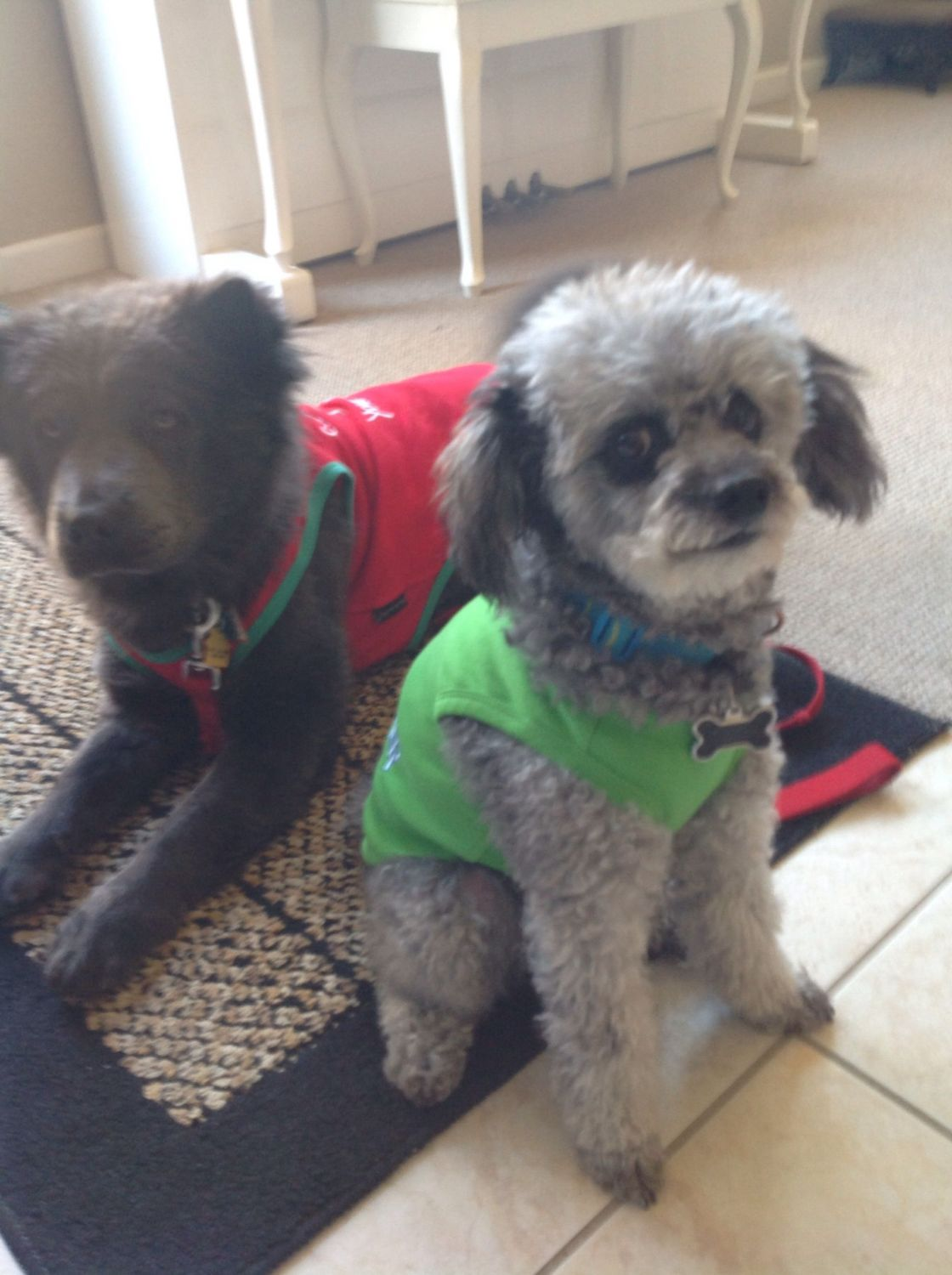 Brooke (Chow breed) is one of my foster girl that I rescued last year and we found her a wonderful adopter in San Jose.  Cooper has been through a lot of foster doggies in his 9 years and he is still learning to be gracious, LOL!