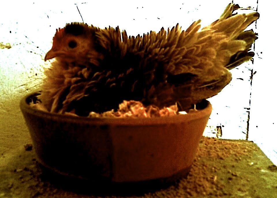 frizzy on nest.jpg