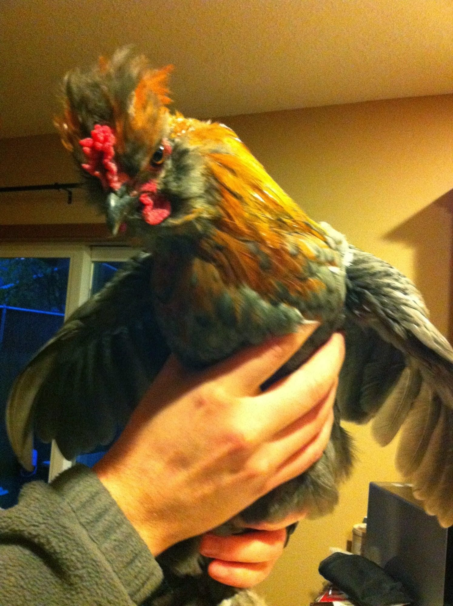 Omelet, who turned out to be a rooster. He was a half bantam.