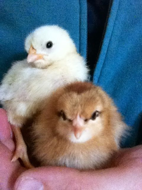 Chickies!