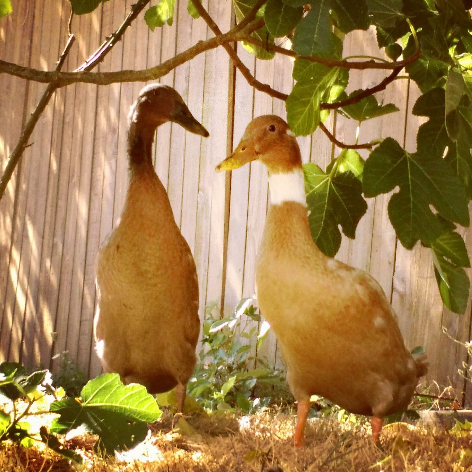 The newest additions to the flock. My 2 Indian Runners, Cheese and Quackers.
