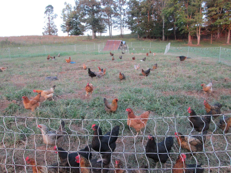 chickens 001.jpg