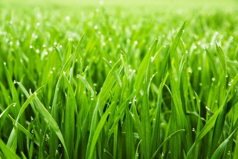 fresh-thick-grass_shutterstock_71481652.jpg