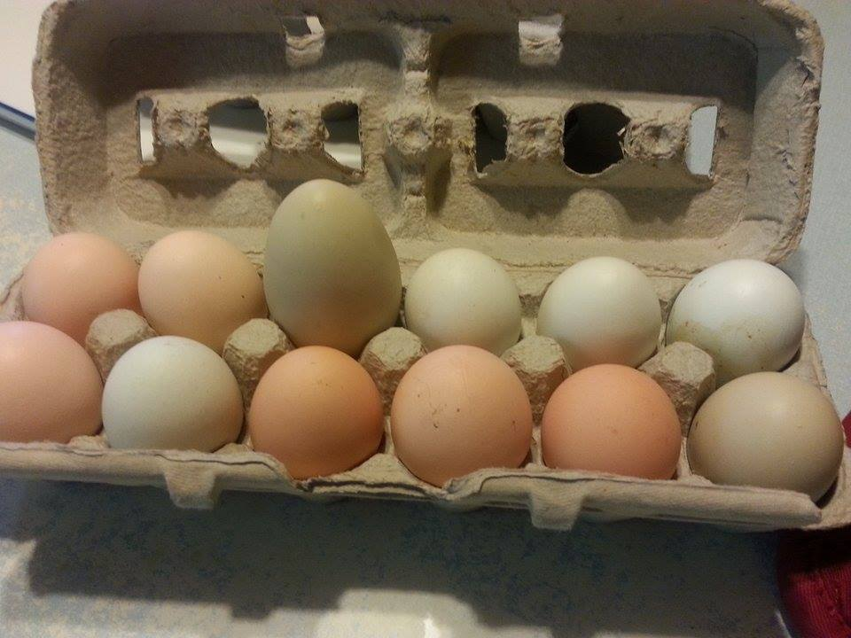 I have one all black hen that once in a while lays double yoke eggs . they are big