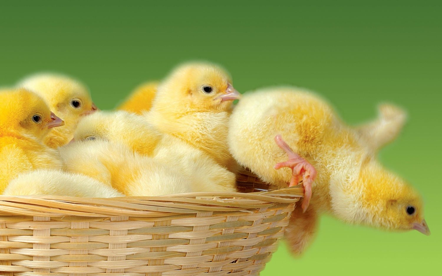 little chicks.jpg