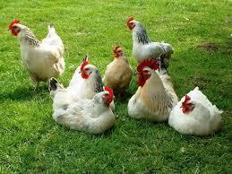 cute hens.jpg