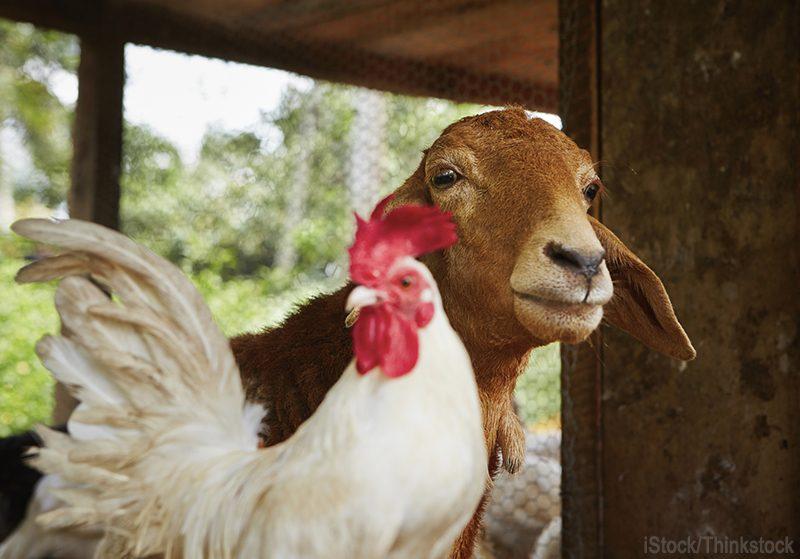 goat chicken.jpg