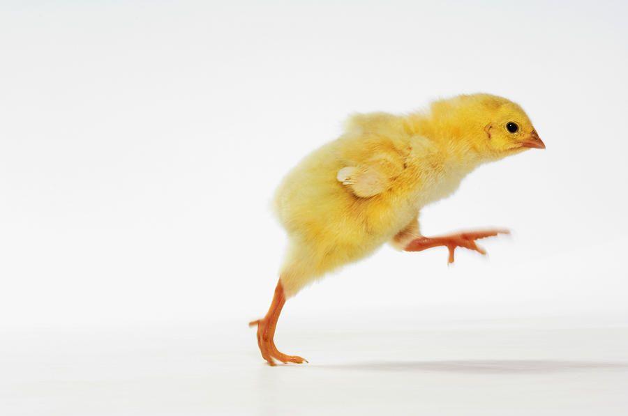 chickrunning.jpg