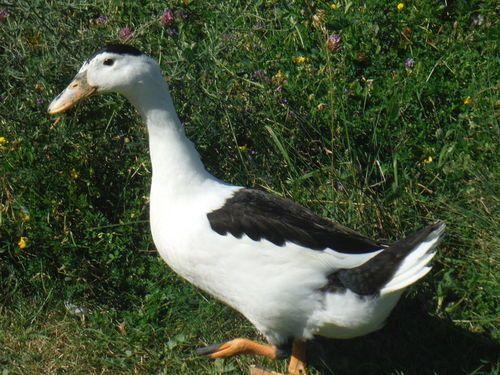 Magpie Duck.jpg