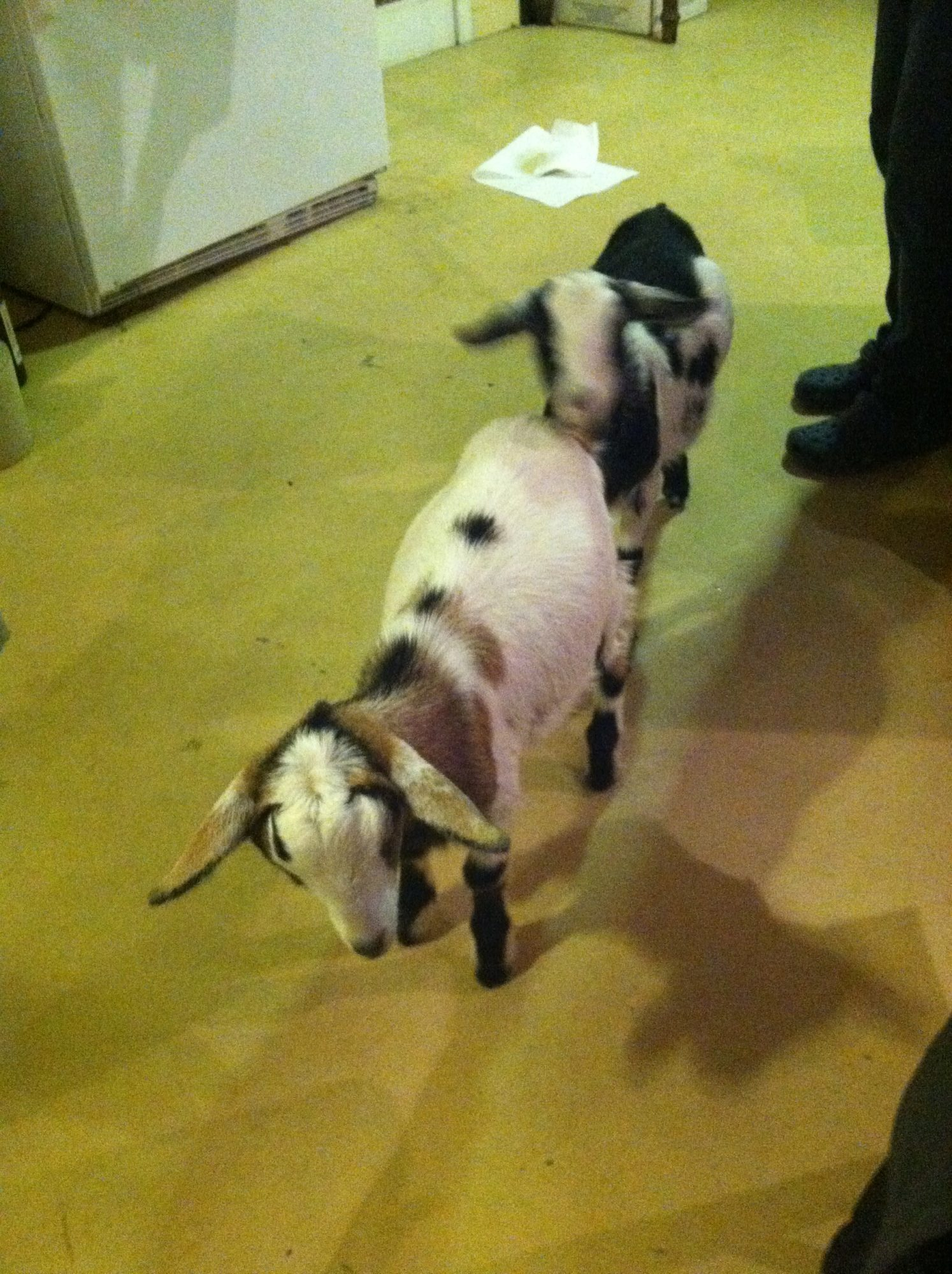 Here is Jovi and Boston...The ones that started my latest goat fest. I got these for my birthday last November (2014). Boston passed because of a rumen blockage but Jovi is alive and HERE for everyone to HEAR! 