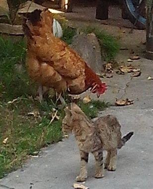 ChickenBreed.jpg