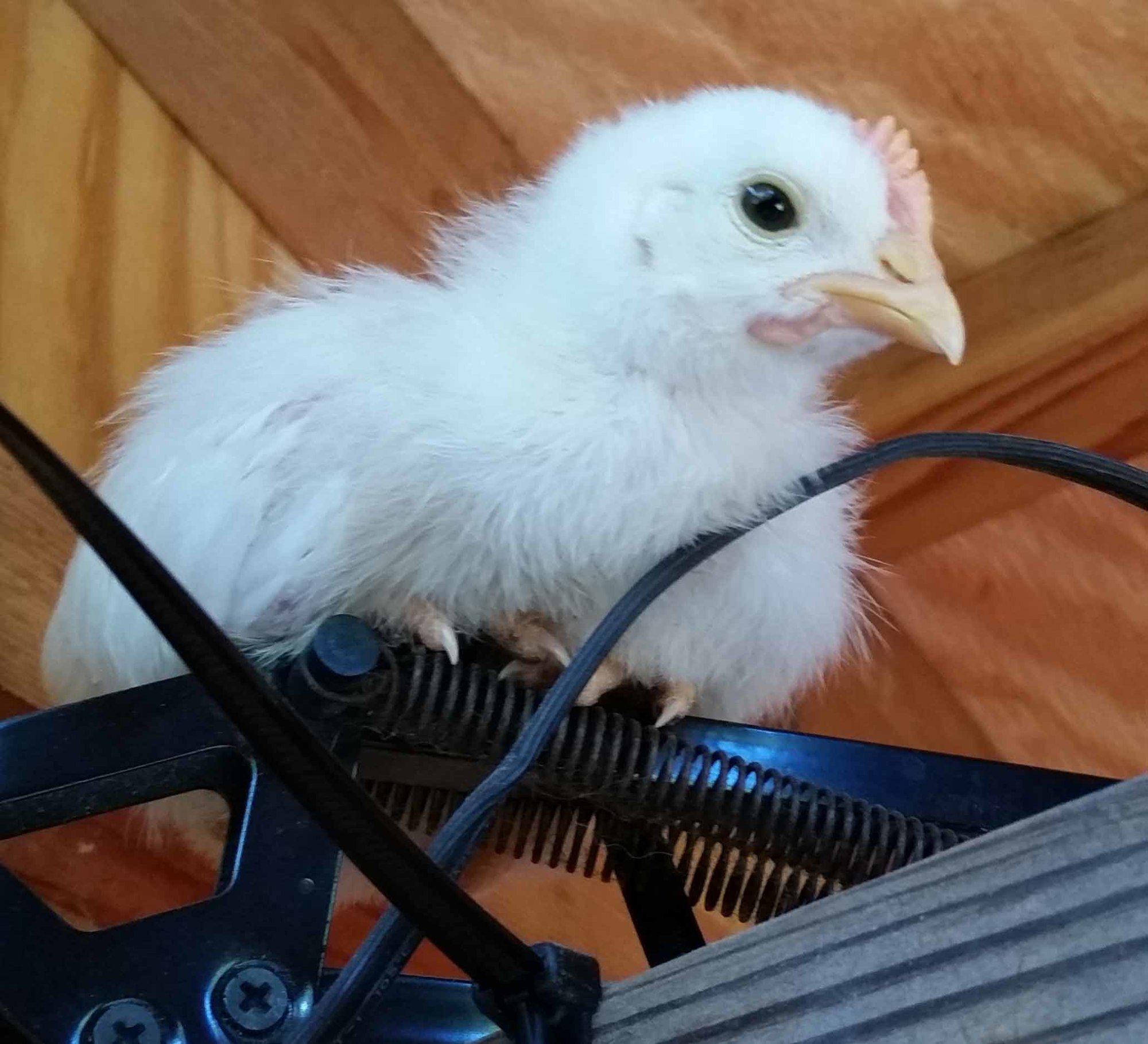 white rooster.jpg