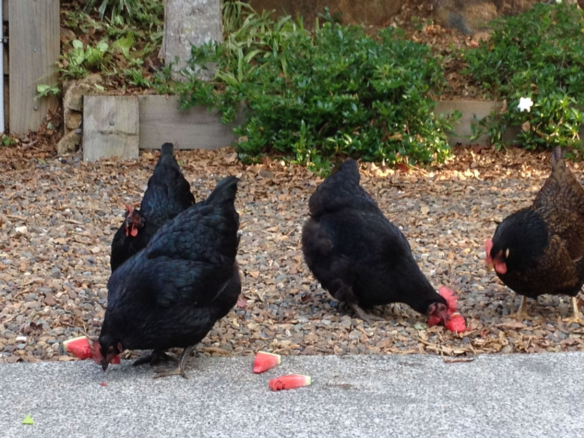 These are my four beautiful chickens who roam over an acre and a 1/4 of land. After a long day of roaming they love to munch on some fresh watermelon in the hot Aussie climate.