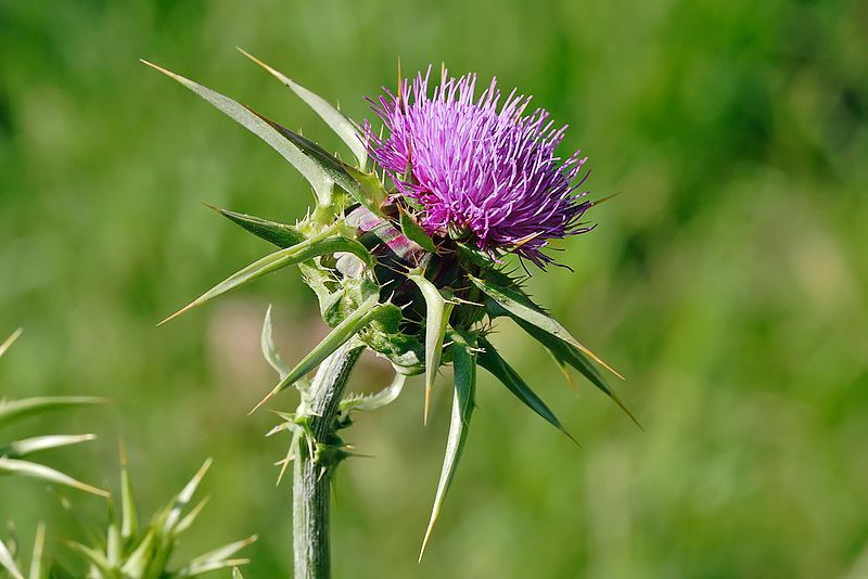 File source: http://commons.wikimedia.org/wiki/File:Milk_thistle_flowerhead.jpg