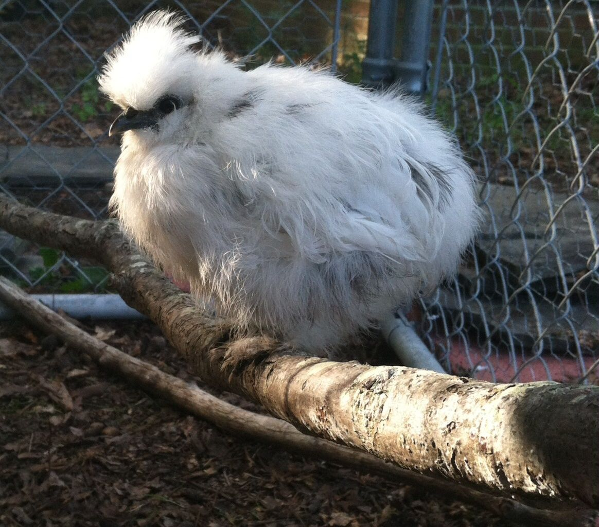 Frost the silkie chick