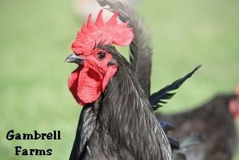 rooster head.jpeg