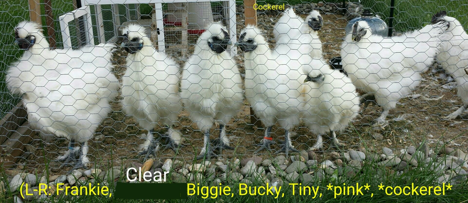 chickachickayea's photos in Lehigh Valley, PA: 2 to possibly 8 13 wk old White Silkie Cockerels in need of a new home