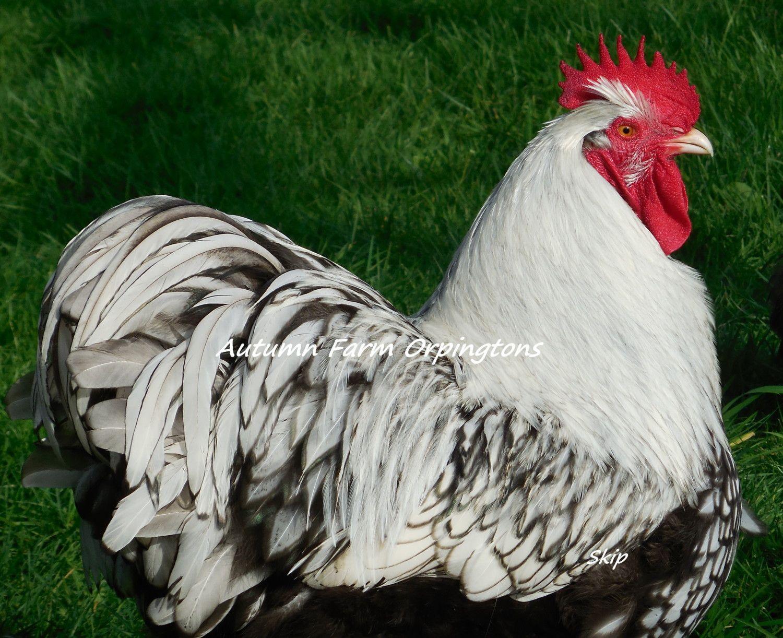 3-16-15 chickens-Silvers 074.JPG