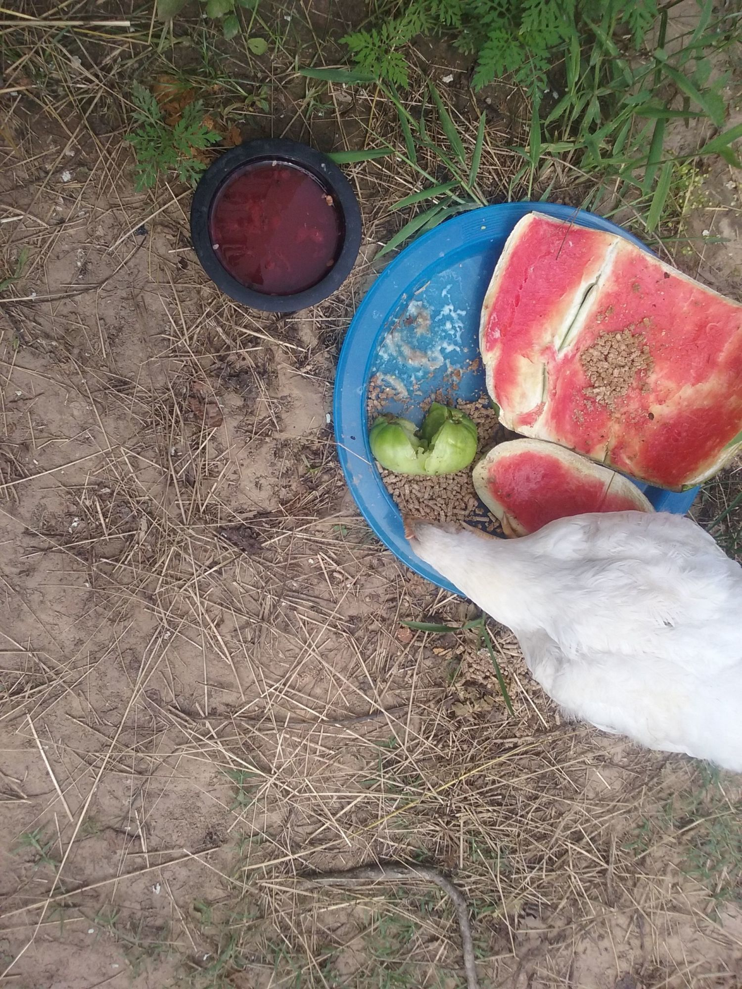 Lucky Lady enjoying her buffet of watermelon rinds, green tomato, rice cereal, & watermelon water with the seeds. Oh, and of course, watermelon soaked chicken feed; she refuses to eat it dry. 😕